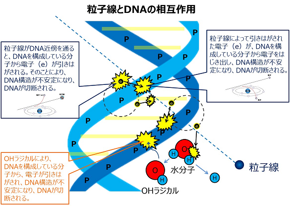 粒子線とDNAの相互作用